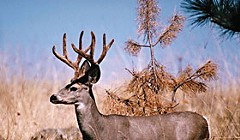Blacktail On