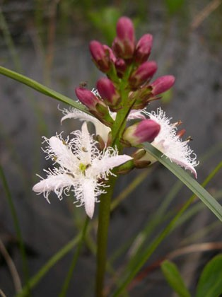 Bogbean. Photo Courtesy of The California Department of Fish & Game.