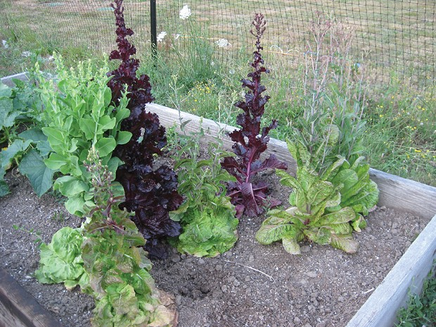 bolted lettuce. - PHOTO BY LYNN JONES.