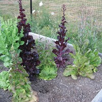 bolted lettuce.