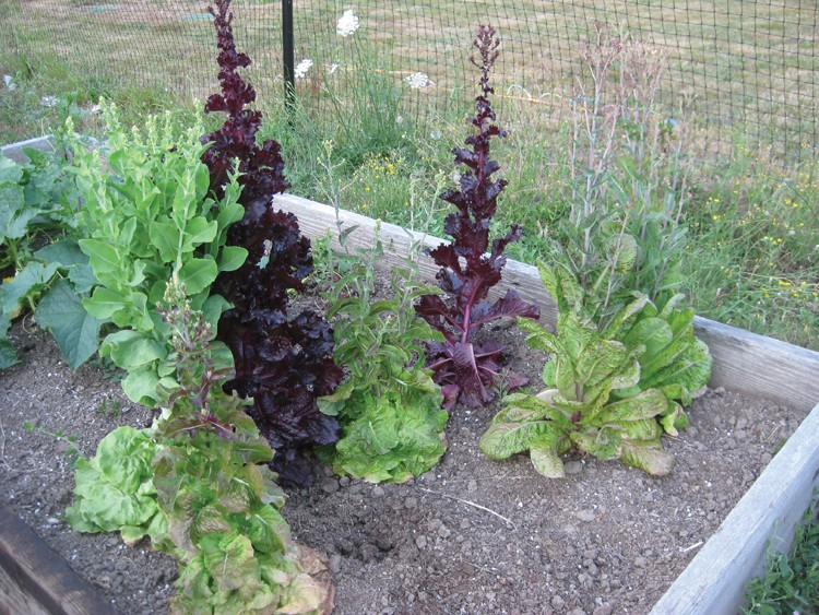 bolted lettuce. - PHOTO BY LYNN JONES.