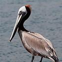 'A wonderful bird is the pelican ... '
