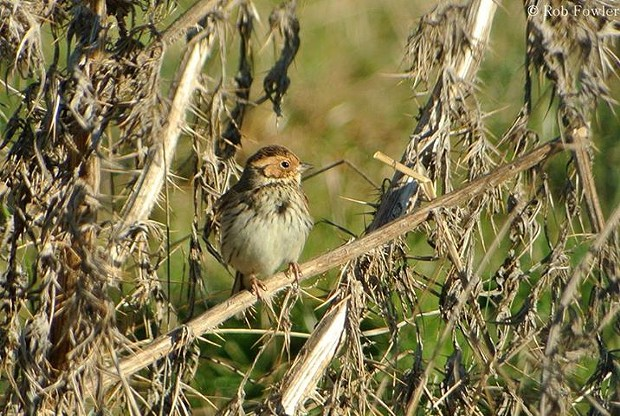 Little bunting. - ROB FOWLER