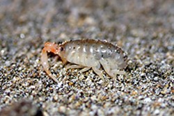 California beach hopper. Photo by Flicker.com user Ken-ichi.