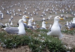 MIKE KERN - California Gull Colony