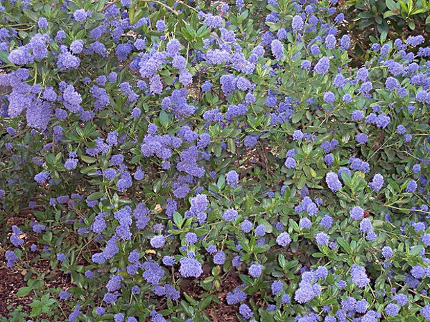"Ceanothus thyrsiflorus ""Blueblossom."" According to the California Native Plant Society's website, it likes a well drained soil and full sun, and has a ""very high wildlife value."" Photo by A. Barra, Wikimedia"