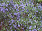 """Ceanothus thyrsiflorus """"Blueblossom."""" According to the California Native Plant Society's website, it likes a well drained soil and full sun, and has a """"very high wildlife value."""" Photo by A. Barra, Wikimedia"""