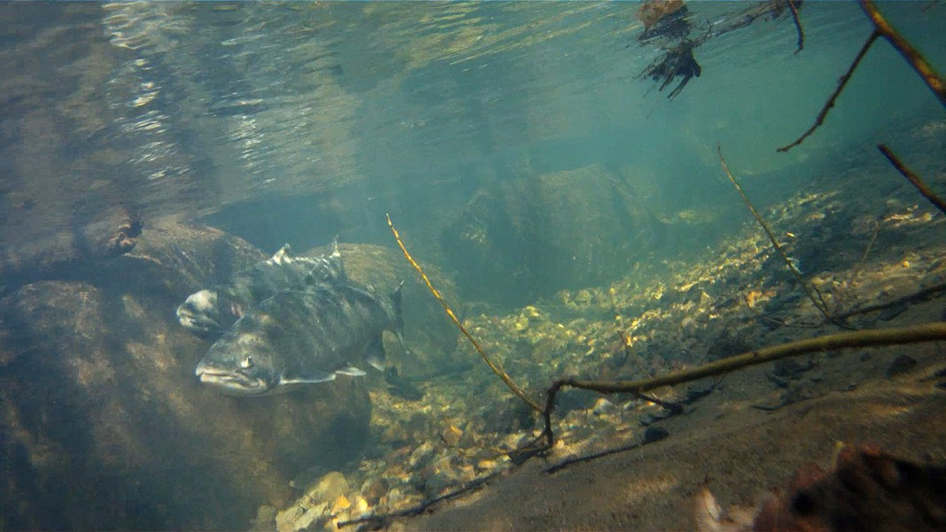 Coho salmon - PHOTO COURTESY OF NOAA FISHERIES