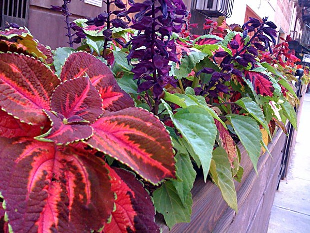 Coleus in New York's East Village Photo by Amy Stewart
