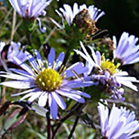 Asters Up Front