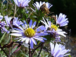 Common aster. By Flickr user Joe Godin. Creative Commons Attribution License.