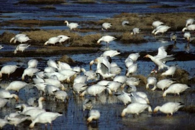 snowgeese-usfws-gimped.jpg