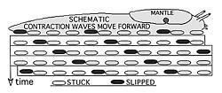 Diagram of slug locomotion by Don Garlick.
