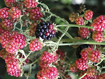 Don't let that luscious fruit fool you. Photo courtesy of Morguefile.com user Digology