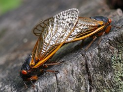PHOTO BY TOM MIDDLETON - Don't try this at home! Mating 17-year cicadas.