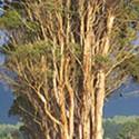 O, Eucalyptus!
