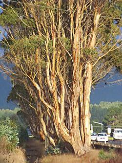 Eucalyptus trees on the Highway 101 corridor. Photo by Heidi Walters