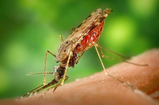 Female Anopheles albimanus mosquito feeding on human blood (only females drink blood) in Central America, potentially passing on malaria parasites. - JAMES GATHANY, CENTER FOR DISEASE CONTROL AND PREVENTION. PUBLIC DOMAIN.