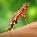 The Vicious Circle of Malaria