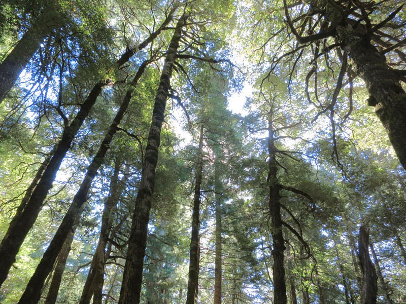 First-growth tanoak grove on Peavine Ridge, on the north slope of Bull Creek in Humboldt Redwoods State Park. - PHOTO BY BARRY EVANS