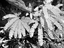 Five Finger Fern, 'Adiantum pedatum', at Bull Creek. Photo by Don Garlick.