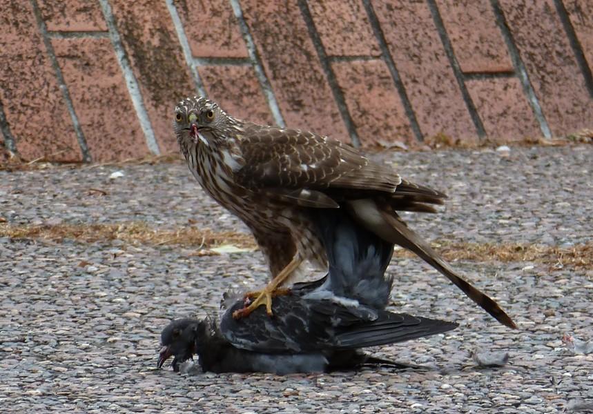 falcon1.jpg