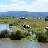 Holsteins hang out next to a stream in the Arcata bottoms.  While the new regulations don't ban cows from streams, they will suggest creating fenced-off bumper zones in many cases.