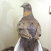 Birders of America HSU Wildlife Museum's specimen of the extinct passenger pigeon. Photo by Heidi Walters