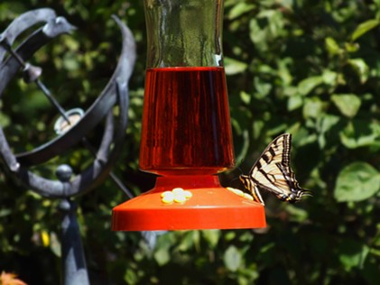 Stopping for a sip at a hummingbird feeder. - ANTHONY WESTKAMPER