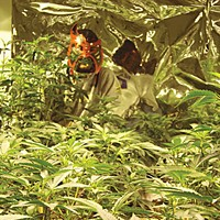 When Weed is Legal J.D., wearing a Lucha Libre mask to maintain anonymity, crouches behind his crop.  Photo by Ryan Burns