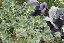 PHOTO BY GENEVIEVE SCHMIDT - Keep planting cruciferous vegetables.
