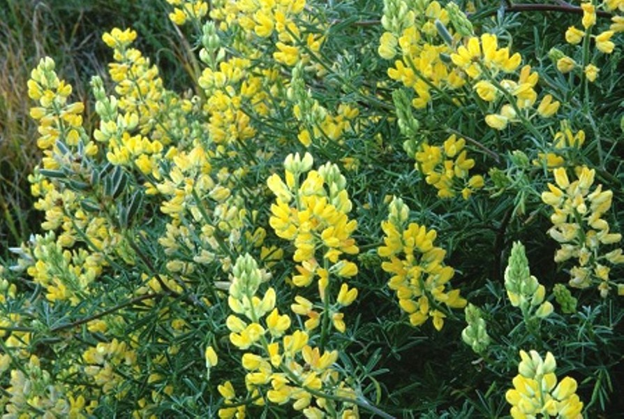 yellow-bush-lupine-usfws-photo.jpg