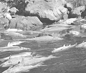 Klamath River. Photo courtesy of Jim Simondet, NOAA Fisheries.