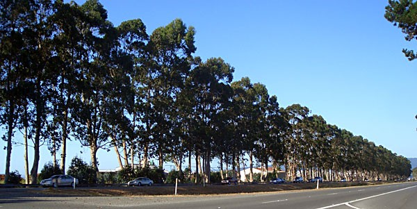 Looking and smelling good: 76-year old stand of Eucalyptus globulus on the Eureka-Arcata 101 corridor. (Author photo.)