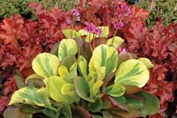 Lovely colors courtesy of Terra Nova Nurseries.
