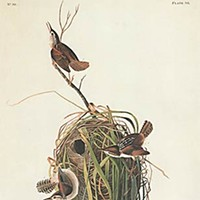 Birders of America Marsh Wrens, by John J. Audubon, 1880