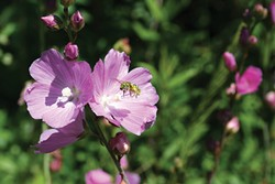 PHOTO BY GENEVIEVE SCHMIDT - Native sweat bee on checkers.
