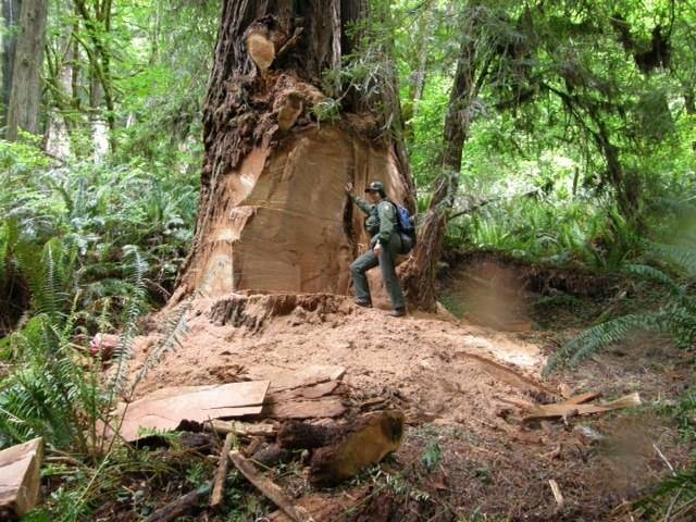 The aftermath of burl poaching. - REDWOOD NATIONAL AND STATE PARKS