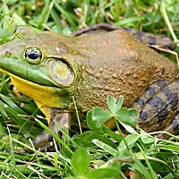 What's The Problem With Bullfrogs?