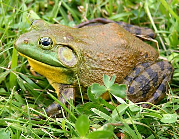 North American bullfrog. Photo by Carl D. Howe