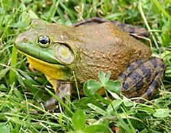 North American bullfrog. Photo by Carl D. Howe