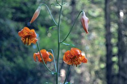 PHOTO BY KEN MALCOMSON - Orange lilies bloom near Prairie Creek.