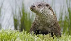 Otter Spotter