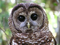 44314990_northern_spotted_owl.jpg