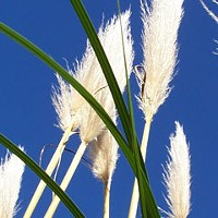 Alien Plants Pampas grass (Cortaderia selloana).Photo by Don Garlick.