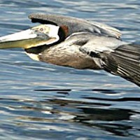 Pelican gliding just above the surface of Humboldt Bay, Photo by Ron LeValley