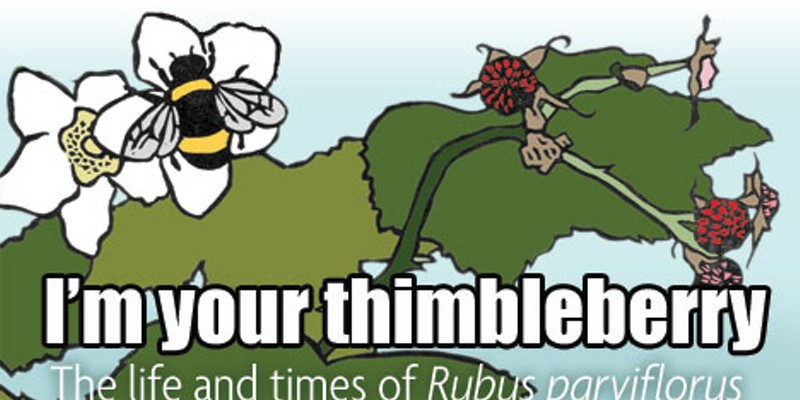 I'm your thimbleberry: The life and times of Rubus parviflorus Photo by Heidi Walters.