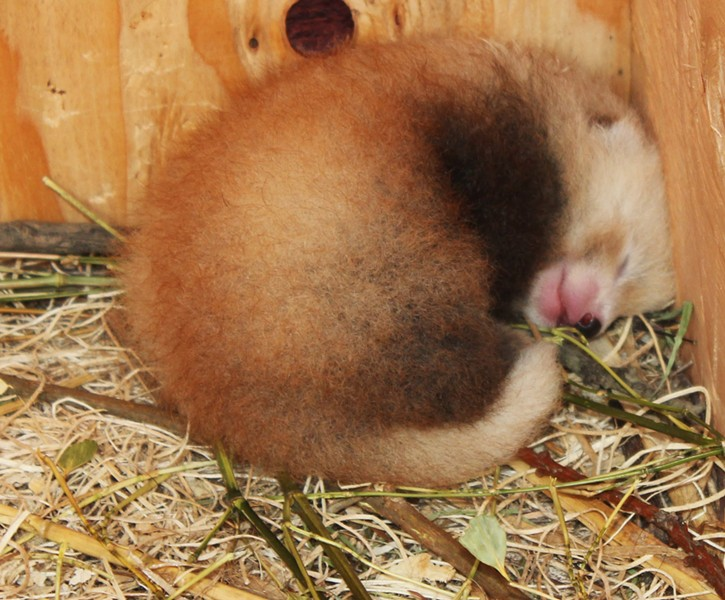 Photo of the red panda cub, taken a few weeks ago, at 10 days old. - PROVIDED BY NICOLE SPENCER