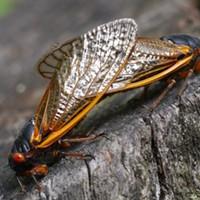 Prime Number Cicadas