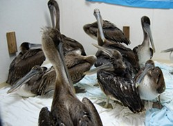 PHOTOS BY DREW HYLAND AND BIRD ALLY X - Recently captured juvenile pelicans wait in a warm room for their intake examination.